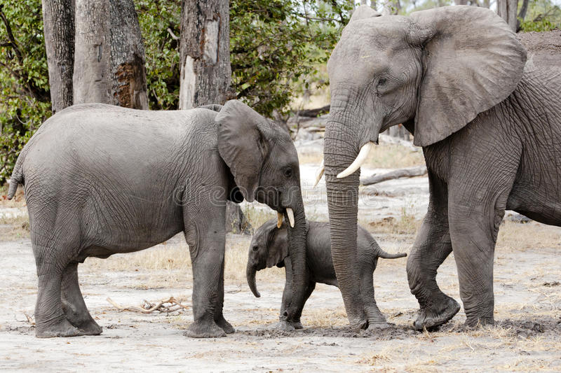 Elephant mother protecting baby elephant, Botswana, Africa. Baby shelter by brother and mother. Baby elephant between mother and brother, Okavango Delta stock photo
