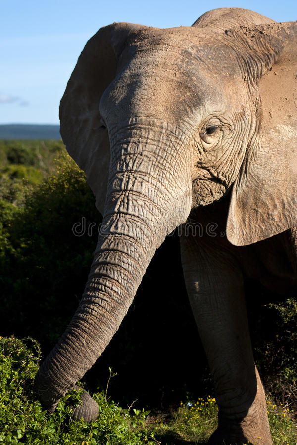 Elephant Cow Eating stock photos