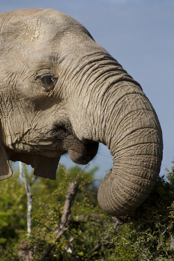 Elephant Cow Eating royalty free stock photography