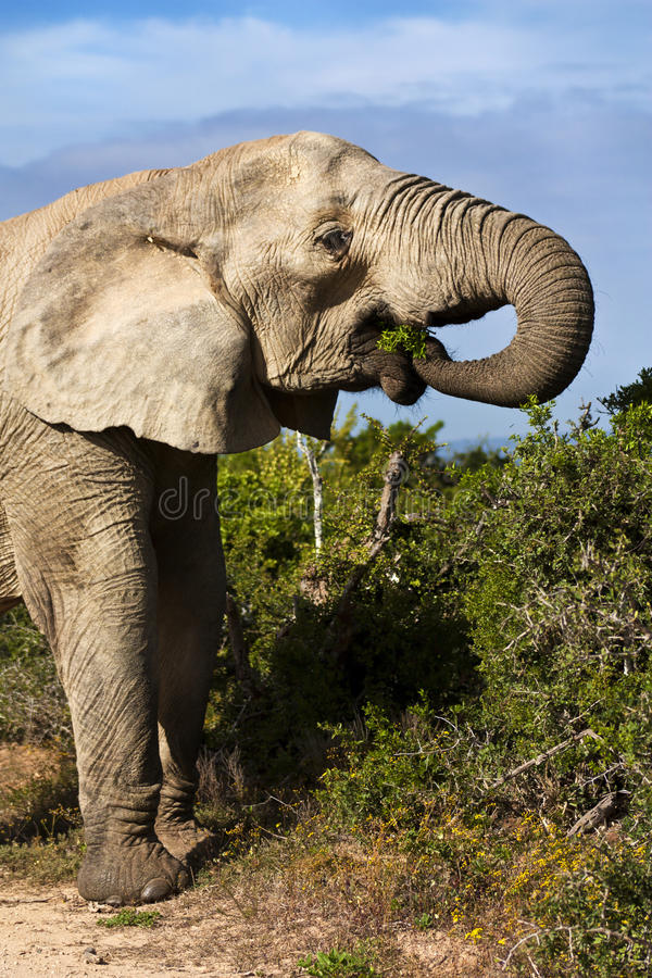Elephant Cow Eating royalty free stock images