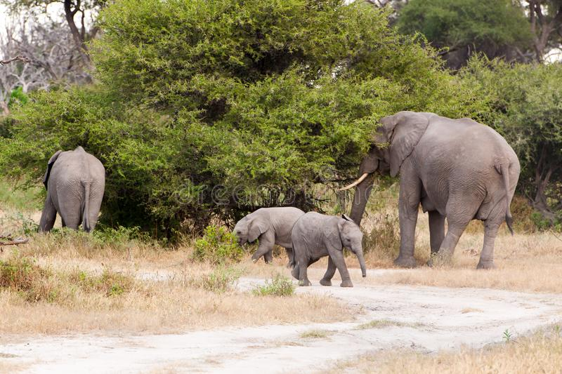Elephant cow with twins in the wild of Botswana royalty free stock images
