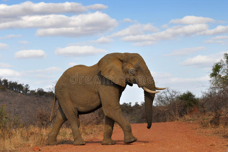 Elephant crossing red road royalty free stock image