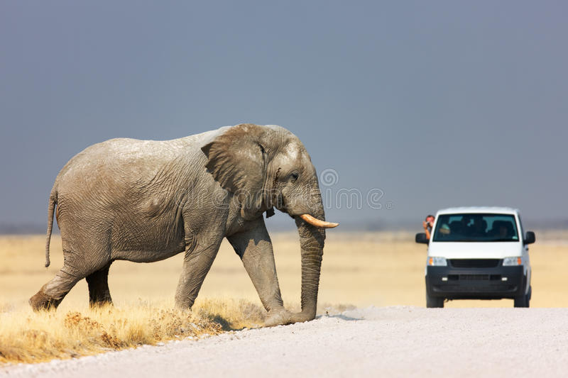 Download Elephant crossing road stock photo. Image of road, africa - 12267234