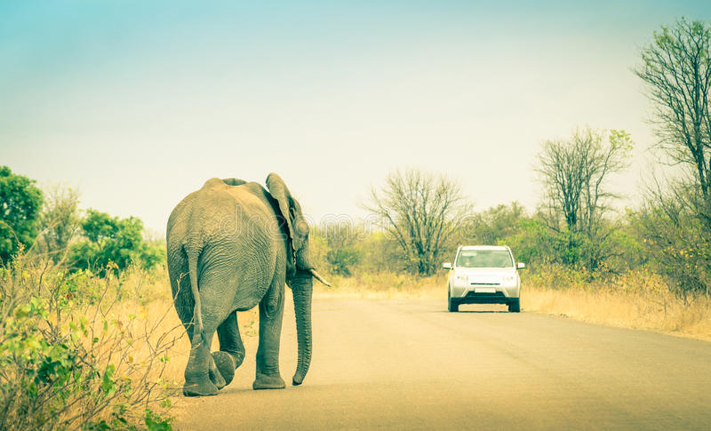 Elephant crossing the road at safari in Kruger Park. Elephant crossing the road at safari park - Concept of connection between human life and wildlife animal stock images