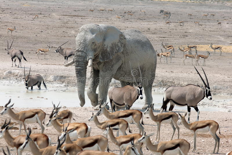 Elephant at a Crowded Waterhole royalty free stock image