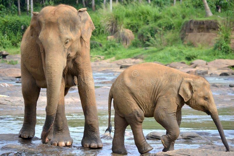 Elephant with cub in river, Pinnawala, Sri Lanka. Elephant with cub, group of elephants in river, Pinnawala, Sri Lanka royalty free stock photography
