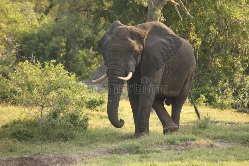 An elephant dancing in the wild royalty free stock photo