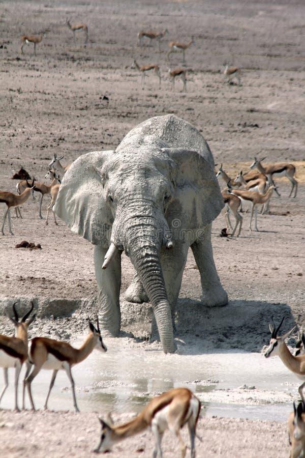 Elephant Drinking Portrait. Elephants, zebra and springboks visiting a waterhole in the Namibian Park of Etosha stock image