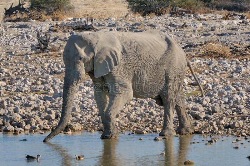 Elephant drinking water. At Okaukeujo in the Etosha National Park, Namibia stock images