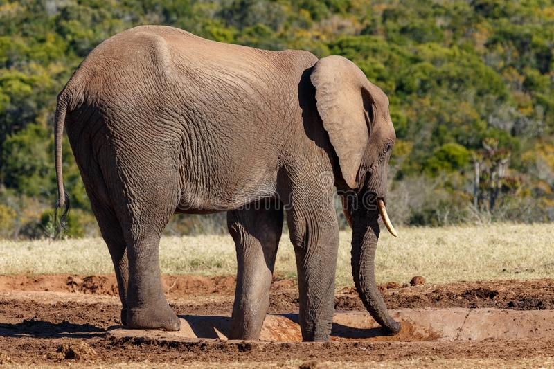 Elephant drinking water at the dam stock photography