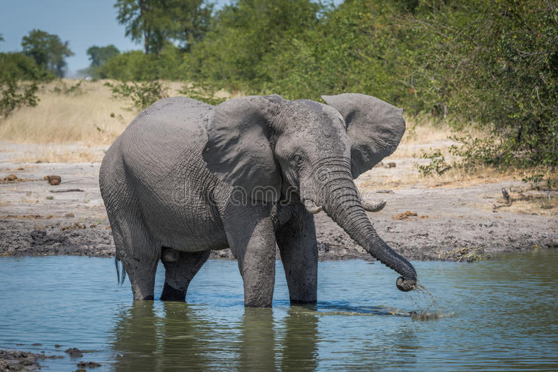 Elephant drinking from water hole using trunk royalty free stock photos
