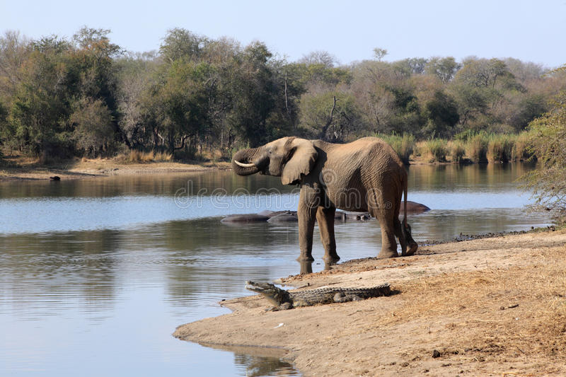 Elephant drinking water at Lake Panic with crocodile and hippopotamuses nearby royalty free stock photos