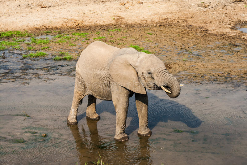 Elephant drinking water in pool stock images