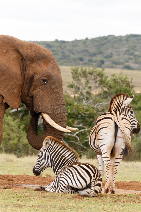 Elephant drinking water while the Zebras are waiting stock photography