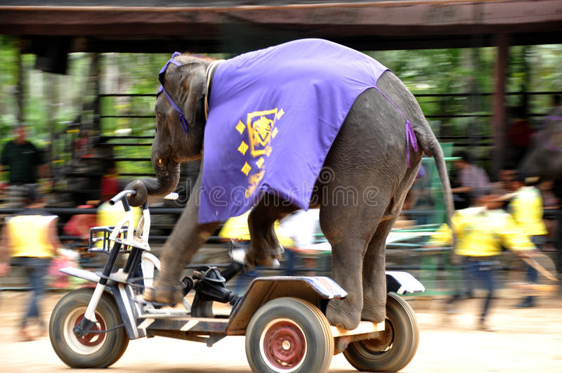 Elephant driving. The elephants are driving performing stock photo
