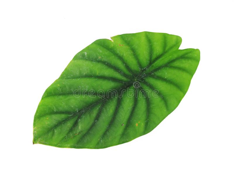 Elephant Ear or Anthurium Green Leaf Isolated on White Backgrond.  royalty free stock images