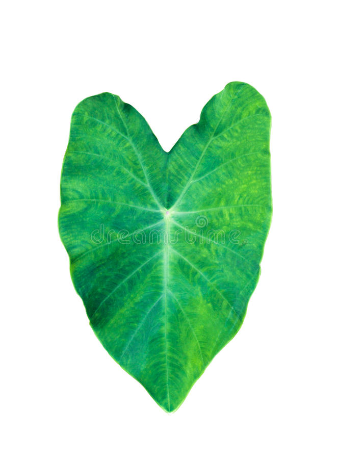 Elephant Ear, Large Tropical leaf, Tara Plant, isolated on white background. royalty free stock photos