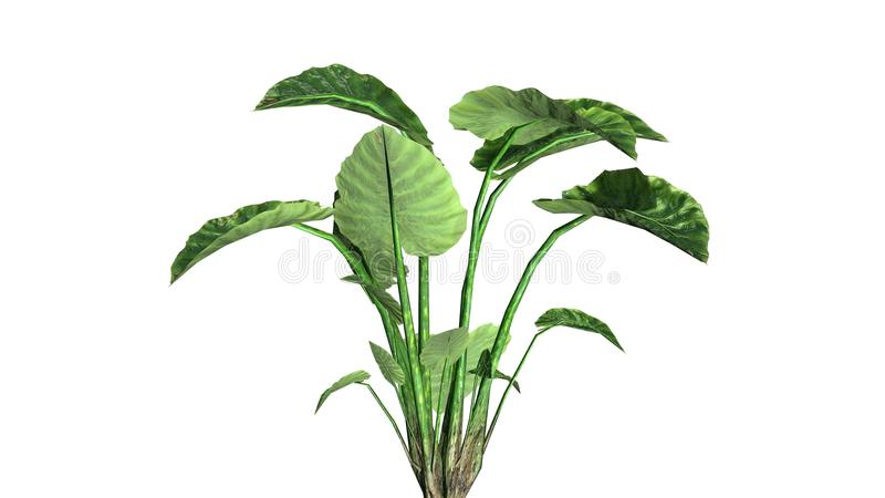 Elephant ear plant. On white background royalty free stock photography