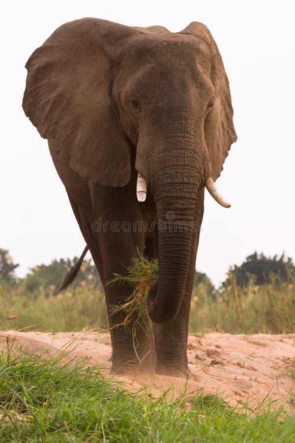 Elephant eating. African elephant eating, Lower Zambezi, Zambia stock images