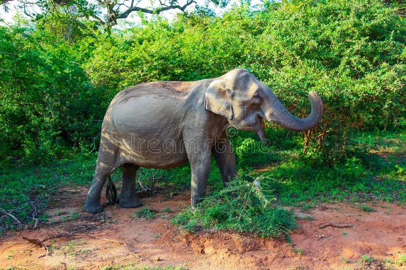 Elephant eating from green tree in Yala National Park stock image