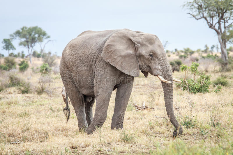 Download Elephant Eating In The Kruger. Stock Photo - Image: 83720102