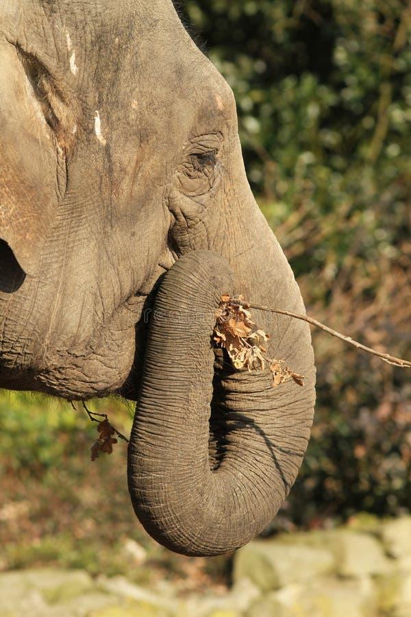 Elephant eating a twig stock image