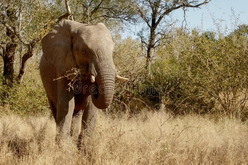 Elephant in the wild in South Africa stock photography