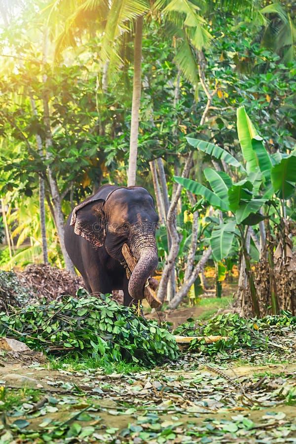 Elephant in the elephant farm royalty free stock photo