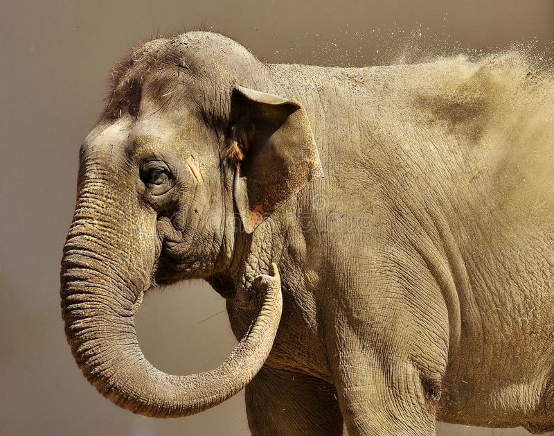 Elephant, Elephants And Mammoths, Indian Elephant, Terrestrial Animal royalty free stock photos