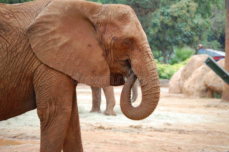 Elephant, Elephants And Mammoths, Indian Elephant, Terrestrial Animal royalty free stock image