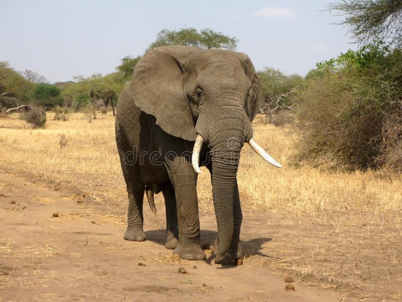 Elephant, Elephants And Mammoths, Terrestrial Animal, Wildlife stock photography