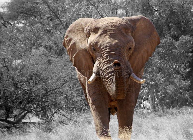Elephant, Elephants And Mammoths, Wildlife, Terrestrial Animal stock photography