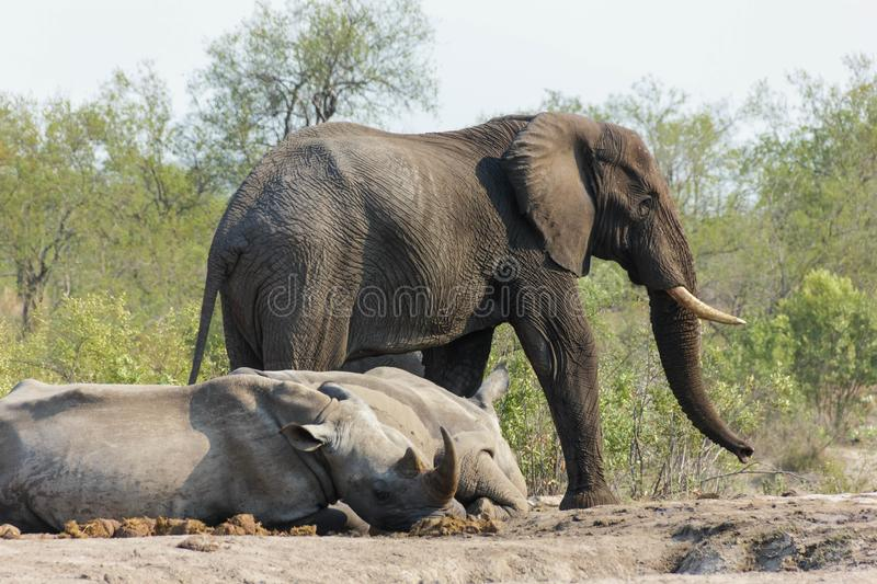 Elephant and Rhinoceros sharing a watering hole in the park. Encountered this Elephant while visiting the famous Kruger National Park in South Africa royalty free stock image