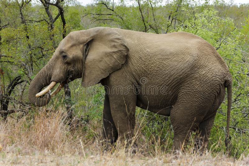 Elephant amongst the dense green bushes in the park. Encountered this Elephant while visiting the famous Kruger National Park in South Africa stock photo