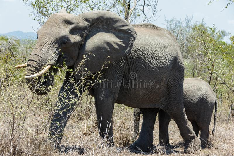 Elephant and calf walking through the bushes in the park. Encountered this Elephant while visiting the famous Kruger National Park in South Africa royalty free stock photo