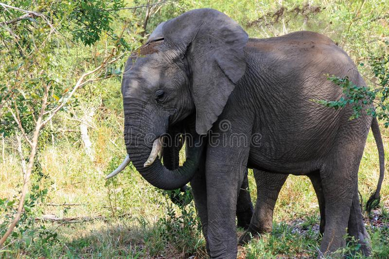 Elephant in the shade of a tree on a hot day in the park. Encountered this Elephant while visiting the famous Kruger National Park in South Africa stock photography