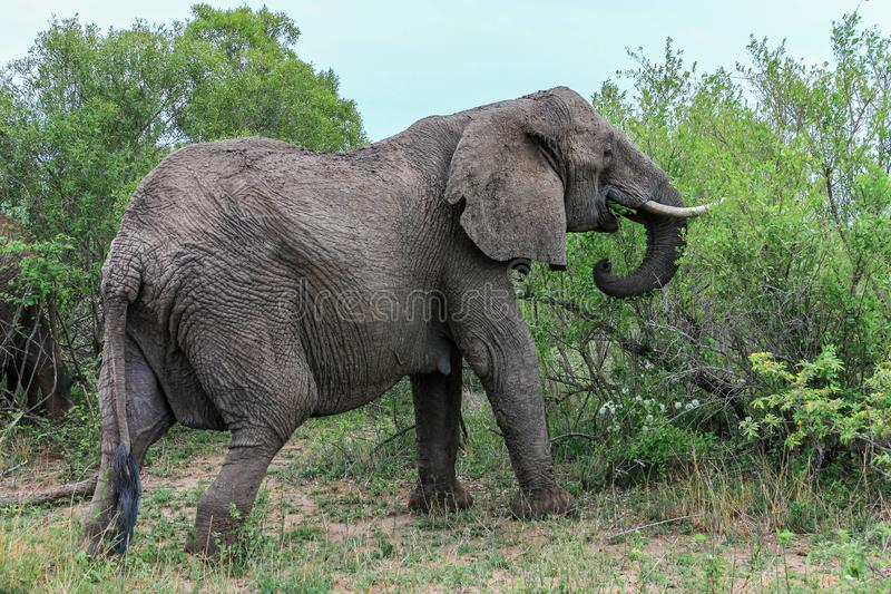 Elephant munching away on a bush in the park. Encountered this Elephant while visiting the famous Kruger National Park in South Africa stock photo