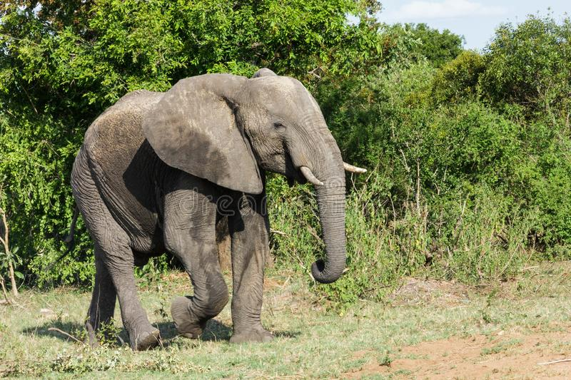 Elephant appearing from the dense bushes in the park. Encountered this Elephant while visiting the famous Kruger National Park in South Africa stock photo