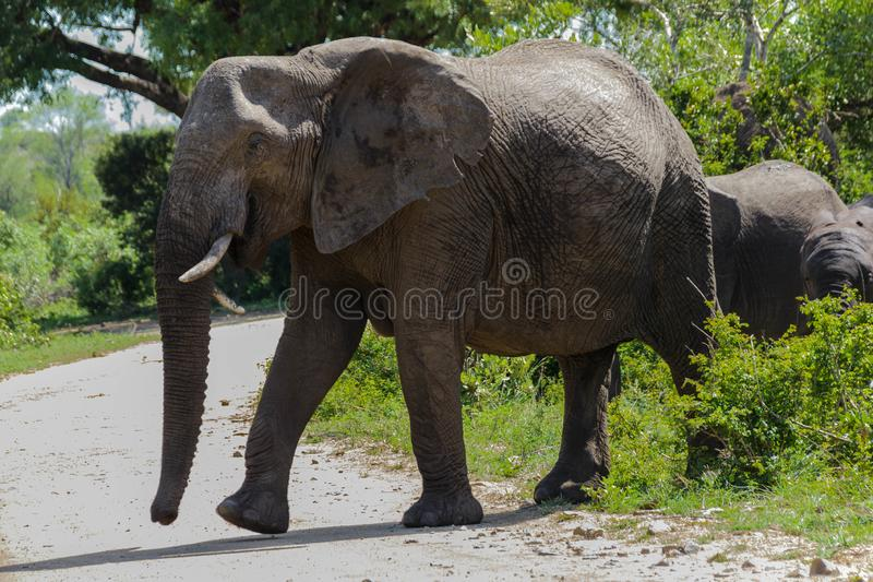 Elephant appearing out of the bushes in the park. Encountered this Elephant while visiting the famous Kruger National Park in South Africa royalty free stock images