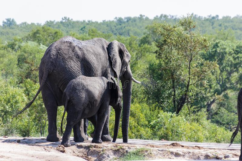 Elephant and calf walking towards a watering hole in the park. Encountered this Elephant while visiting the famous Kruger National Park in South Africa stock photography