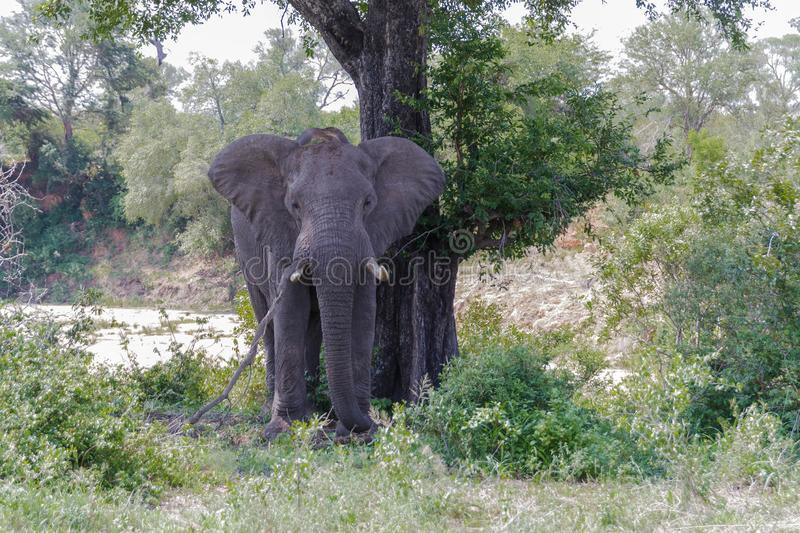 Elephant leaning against a tree in the park. Encountered this Elephant while visiting the famous Kruger National Park in South Africa stock image