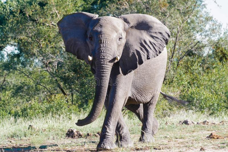 Elephant trying to intimidate me by doing a mock charge!. Encountered this Elephant while visiting the famous Kruger National Park in South Africa royalty free stock images