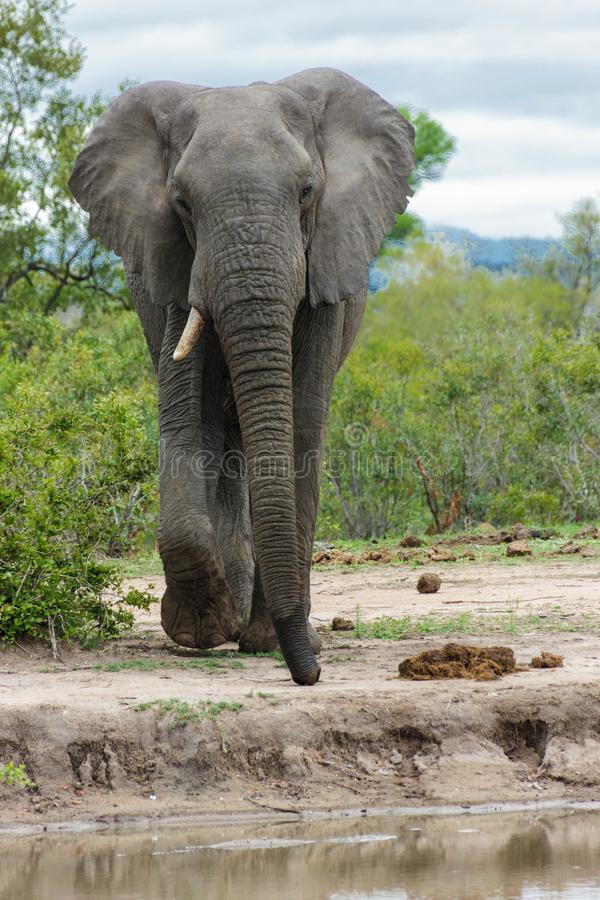 Elephant walking towards a watering hole in the park. Encountered this Elephant while visiting the famous Kruger National Park in South Africa royalty free stock photography