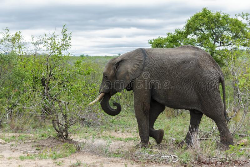 Elephant walking towards dense bushes in the park. Encountered this Elephant while visiting the famous Kruger National Park in South Africa royalty free stock image