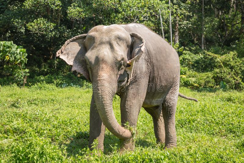 Elephant enjoying their retirement in a rescue sanctuary. Elephant enjoying retirement in a rescue sanctuary royalty free stock image