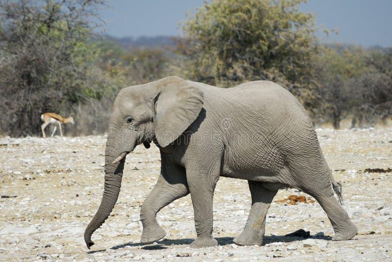 Elephant in the Etosha National Park, Namibia stock images