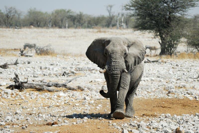 Elephant in the Etosha National Park, Namibia stock photo