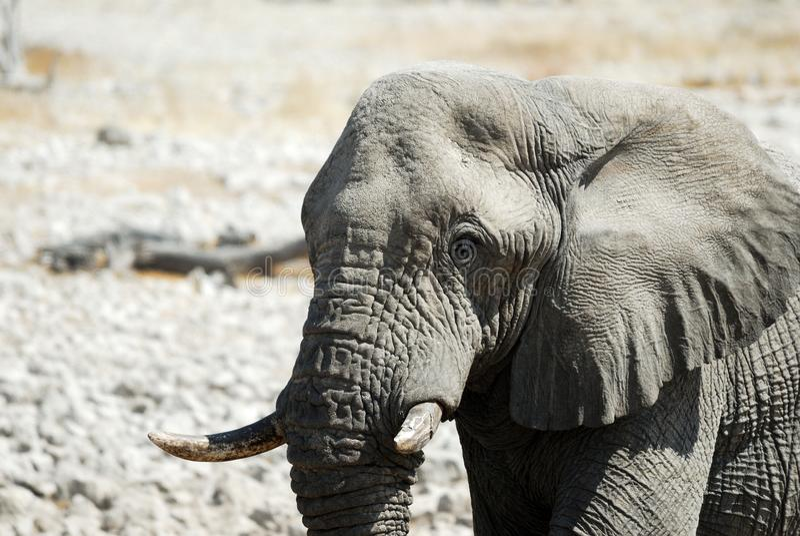 Elephant in the Etosha National Park, Namibia royalty free stock images