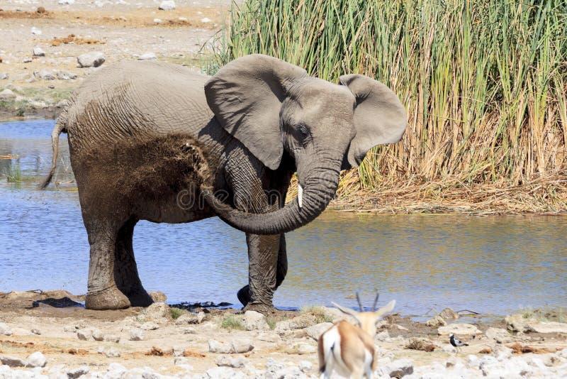 Elephant in Etosha park Namibia stock image
