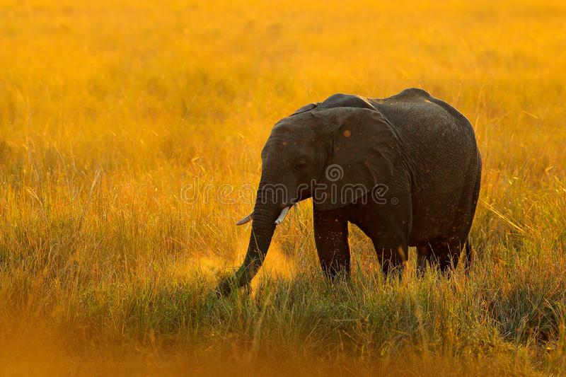 Elephant, evening sun in Africa. Elephant walking in water yellow and green grass, big animal in nature habitat, Chobe sunset, Bot royalty free stock photography